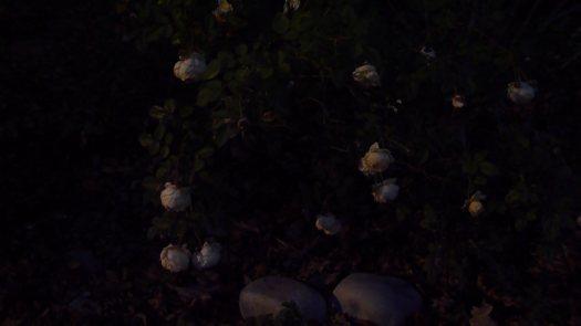 Aging Roses in the Dark