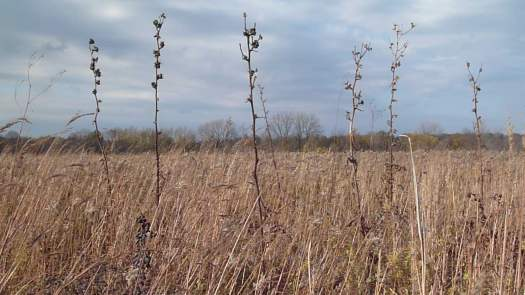 Late Oct Compass Plant, Baptisia Remnants