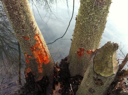 Beaver-Chewed Flaming Orange Alder Closeup 1, 12 Jan 13
