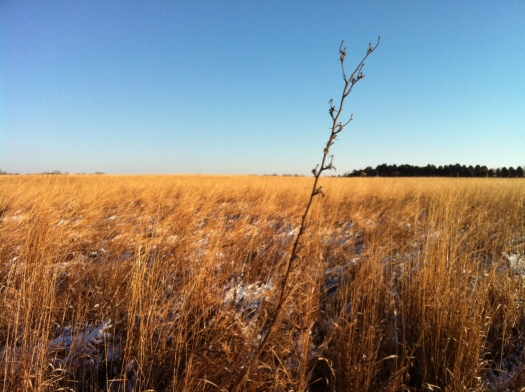 Clear January Compass Plant Remains