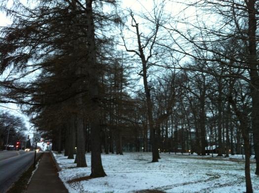 Illini Grove Larches with Snow