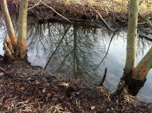 Two Orange-Chewed Alders and Reflection