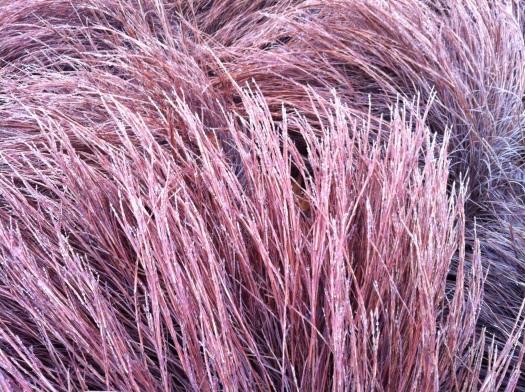 Icy Grass Closeup 13 Jan 13