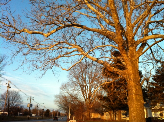 Illuminated Sycamore, Main St.