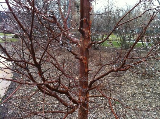 Small Tree w: Ice