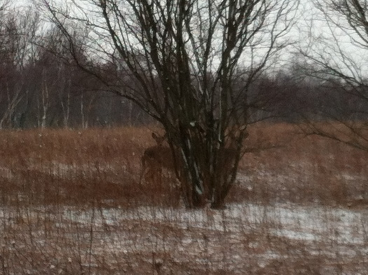 Close Deer 24 March 13