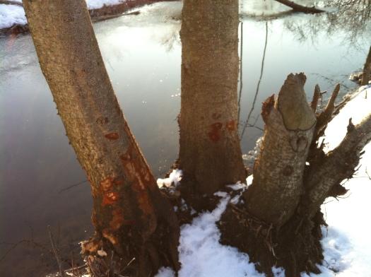 Closeup of Chewed Alders 24 Feb 13