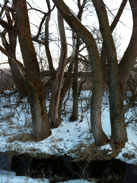 Clump of Cottonwood Trunks at Davis Creek