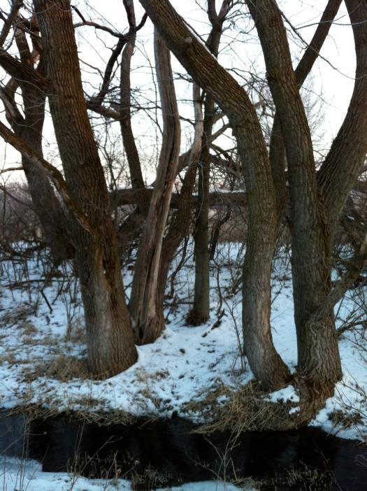 Clump of Cottonwood Trunks at Davis Creek