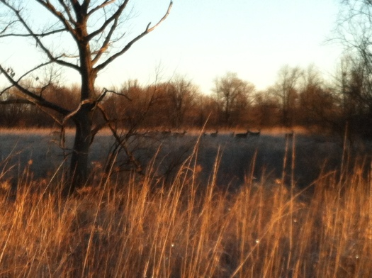 Deer in Early Sunlight with Frost on Grass