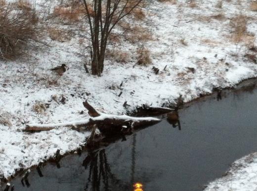 Ducks Standing Their Ground