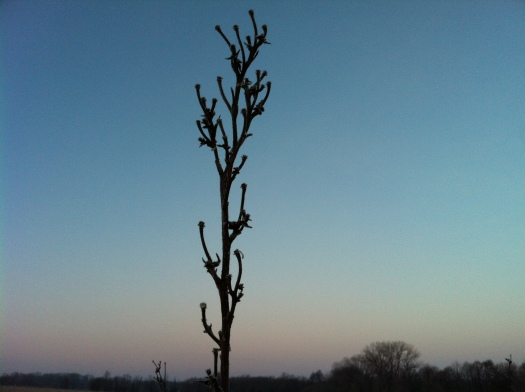Old Compass Plant and Clear Morning Sky