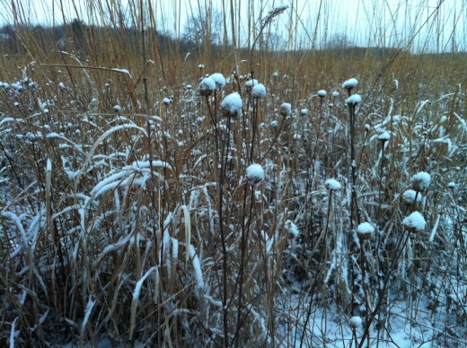 Old Prairie Plants w:Snow Tops