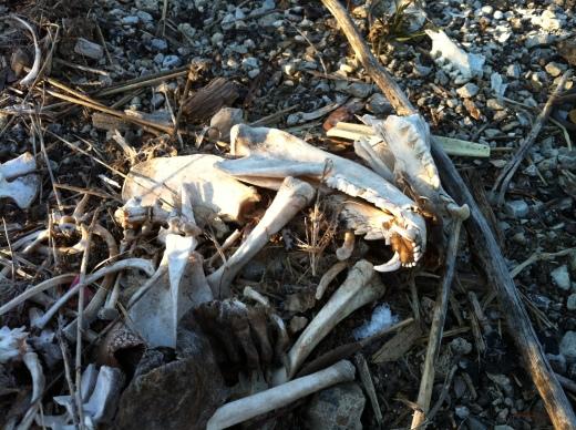 Possum Bones 3 Mar 13 3