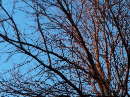 Several Red-Winged Blackbirds 16 Feb 13