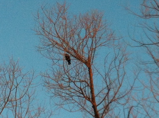 Singing February Red-Winged Blackbird