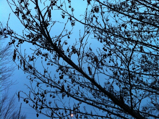 Alder Flowers against Early Morning Sky