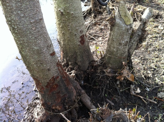 Chewed Alders after 4 Months