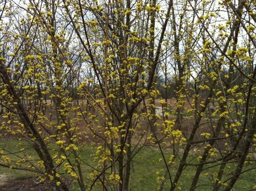 Cornus mas Aflower 8 Apr 13
