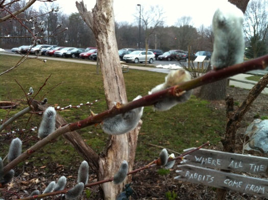 Pussy Willows and Crowded Parking Lot 31 March 13
