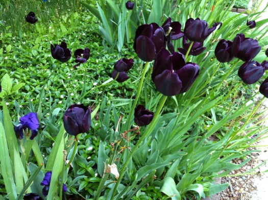 Black Tulips and First Irises