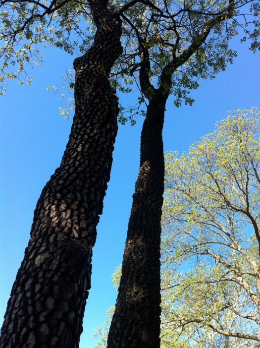 Persimmon Trunks and Sky