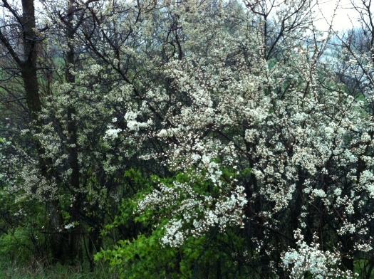Plum Blossoms at I-74