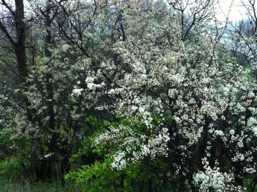 Plum Blossoms at I-74