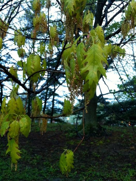 Tender Young Oak Leaves