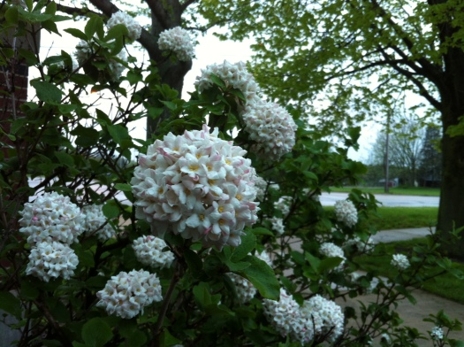 Viburnum Windsor and Race