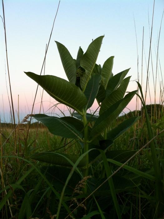 Common Milkweed and Western Sky at Sunrise