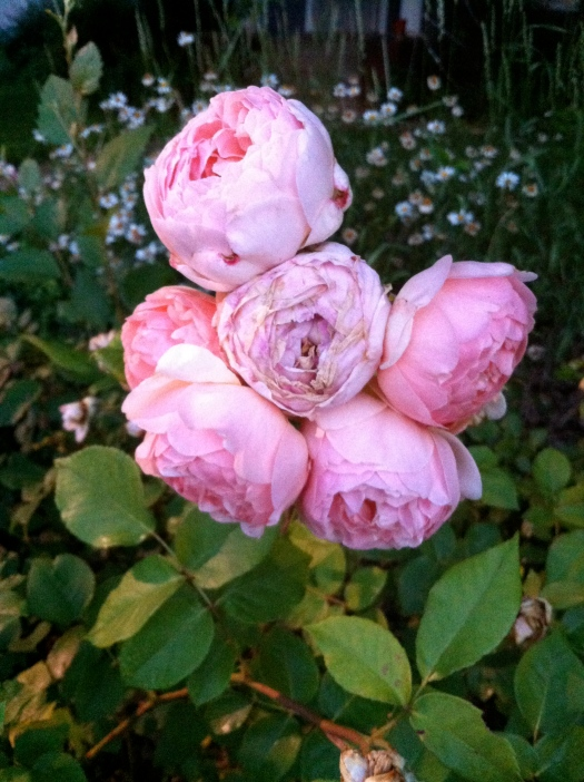 Crowded Pink Cabbage Roses