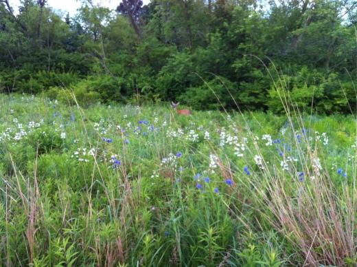 Deer, Penstemon, Spiderwort