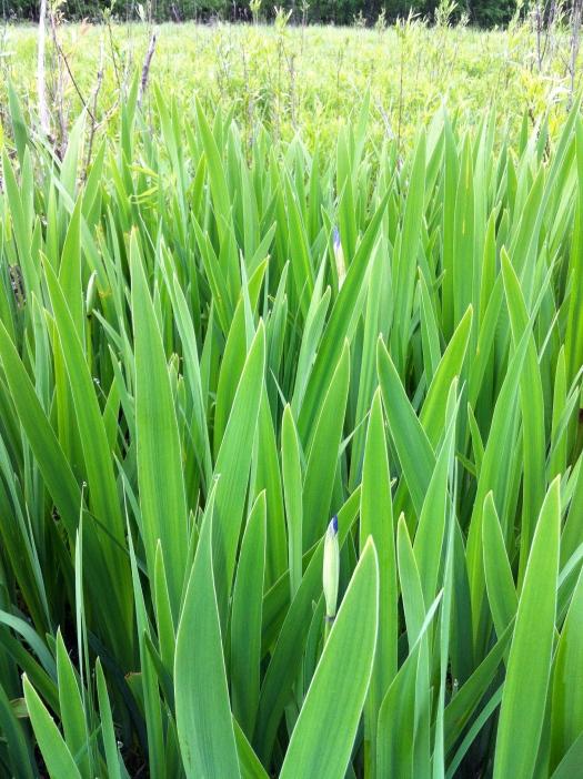 Iris Buds 25 May 13