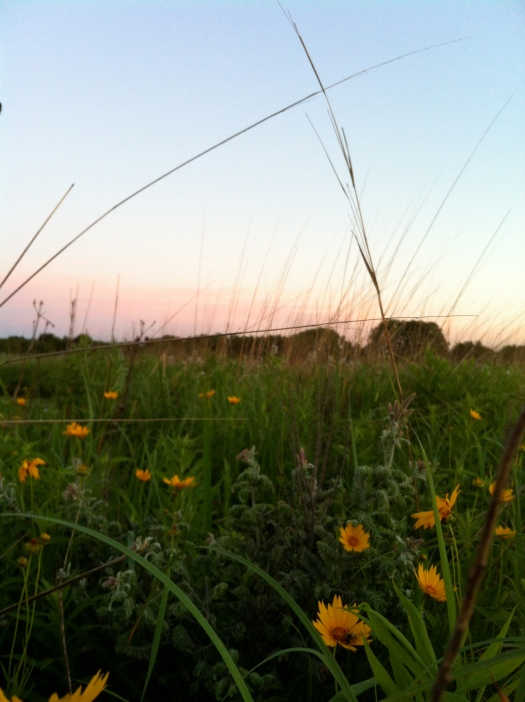 Lead Plant, Coreopsis, and Sky