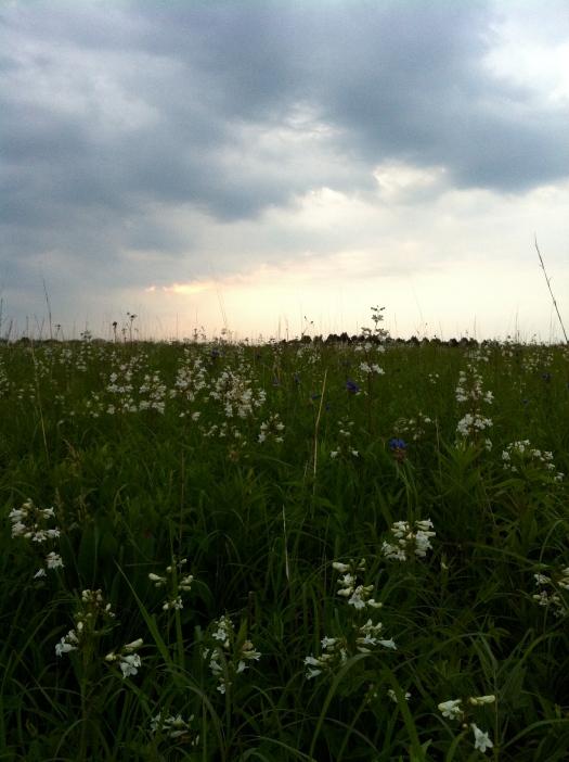 Penstemon and Spiderwort Under Clouds