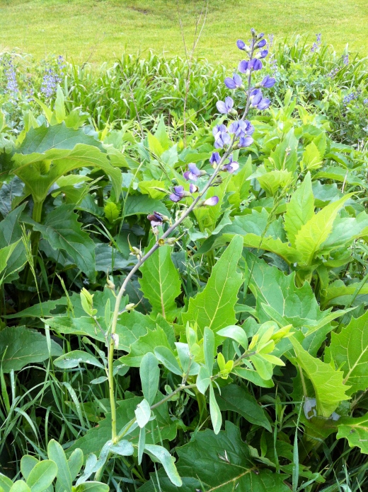Purple Baptisia and Cup Plants
