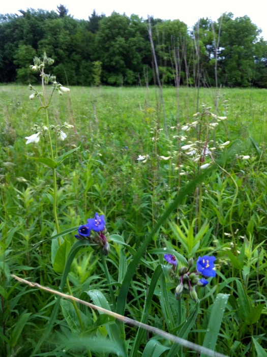 Spiderwort and Penstemon 28 May 13
